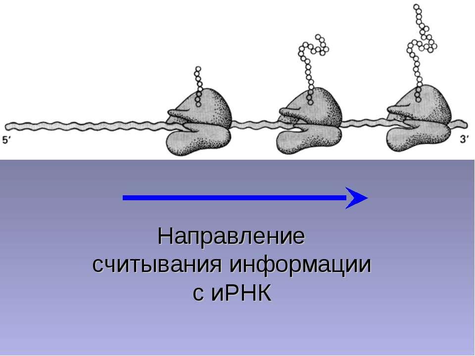 Направление считывания информации с иРНК