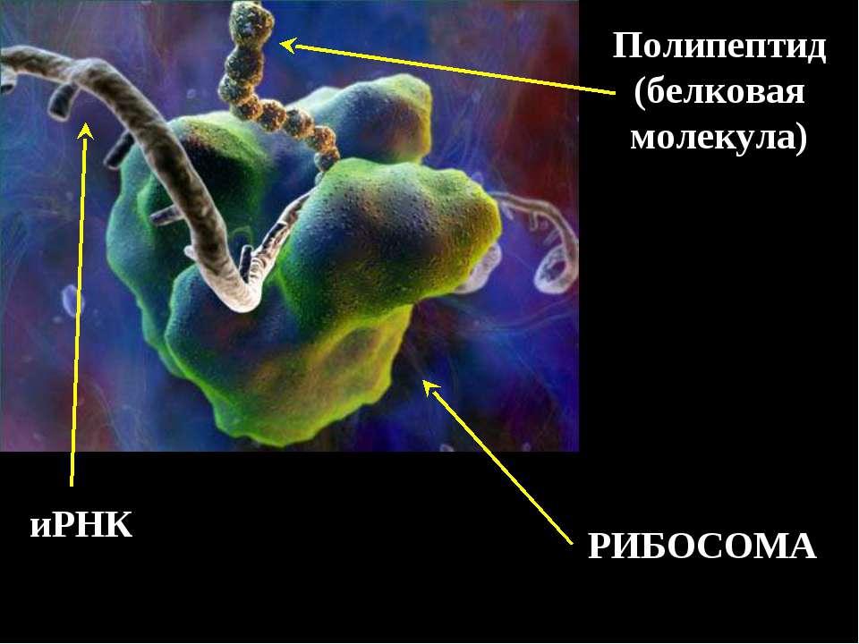 РИБОСОМА иРНК Полипептид (белковая молекула)
