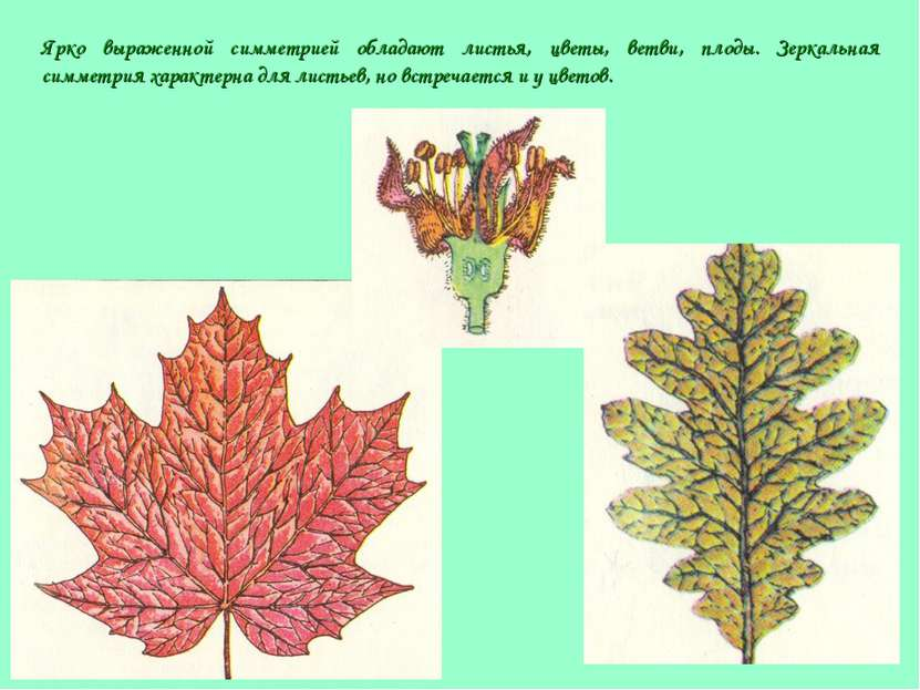 Ярко выраженной симметрией обладают листья, цветы, ветви, плоды. Зеркальная с...