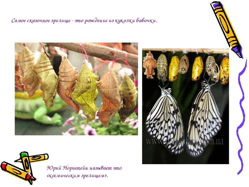 Самое сказочное зрелище - эторождение из куколки бабочки.  Юрий Норштейн на...