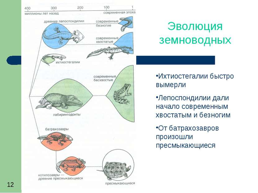 Эволюция земноводных Ихтиостегалии быстро вымерли Лепоспондилии дали начало с...