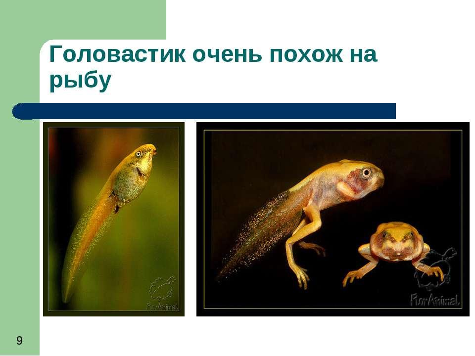 Головастик очень похож на рыбу