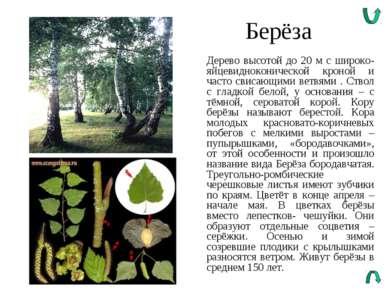 Берёза Дерево высотой до 20 м с широко-яйцевидноконической кроной и часто сви...