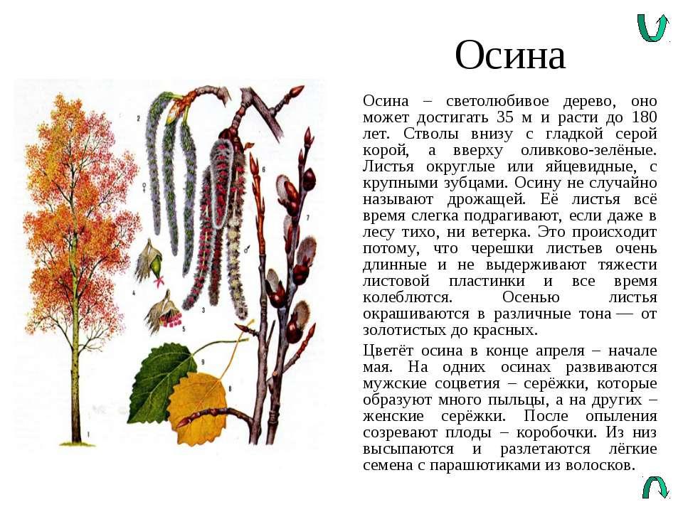 Осина Осина – светолюбивое дерево, оно может достигать 35 м и расти до 180 ле...