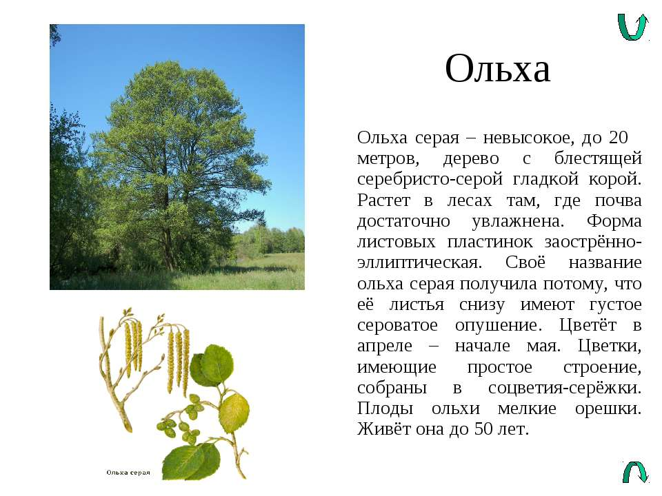 Ольха Ольха серая – невысокое, до 20 метров, дерево с блестящей серебристо-се...