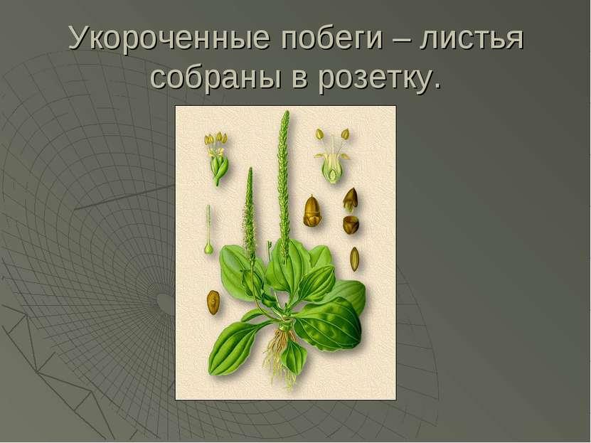 Укороченные побеги – листья собраны в розетку.