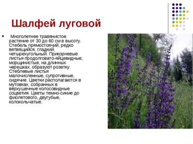 Шалфей луговой Многолетнее травянистое растение от 30 до 60 см в высоту. Стеб...