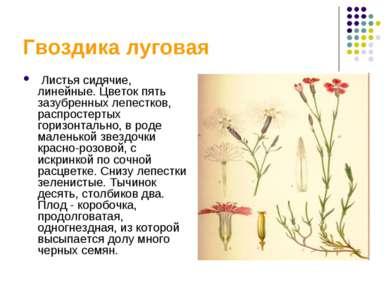 Гвоздика луговая Листья сидячие, линейные. Цветок пять зазубренных лепестков,...