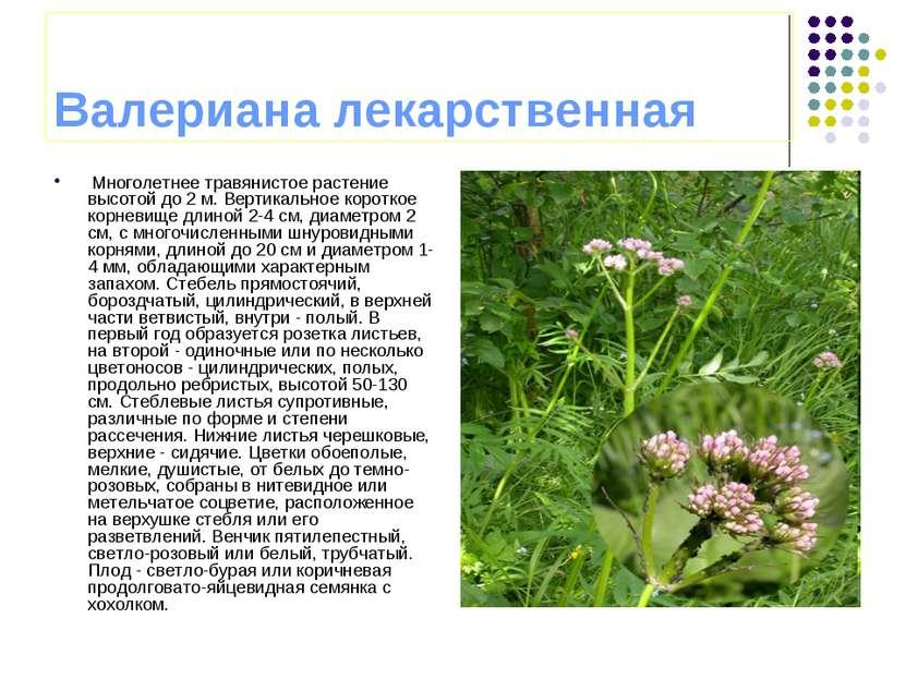 Валериана лекарственная Многолетнее травянистое растение высотой до 2 м. Верт...