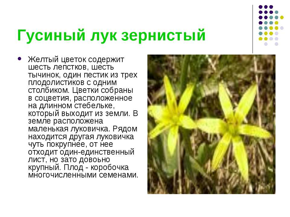 Гусиный лук зернистый Желтый цветок содержит шесть лепстков, шесть тычинок, о...