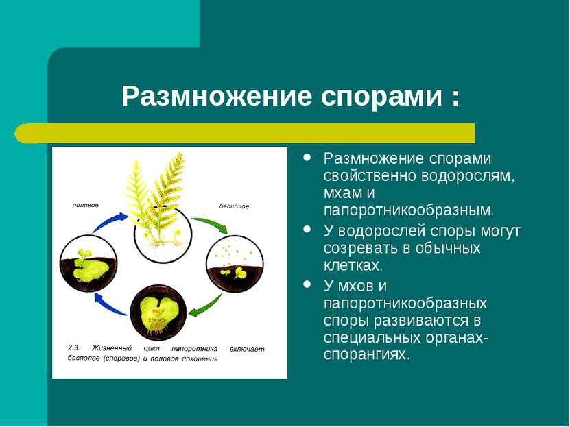 Размножение спорами : Размножение спорами свойственно водорослям, мхам и папо...