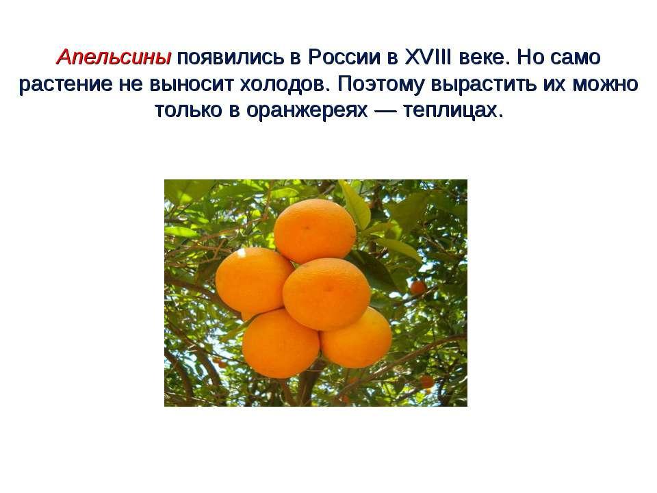 Апельсины появились в России в XVIII веке. Но само растение не выносит холодо...
