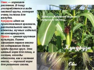Овес — кормовое растение. В пищу употребляется в виде овсяной крупы, которая ...