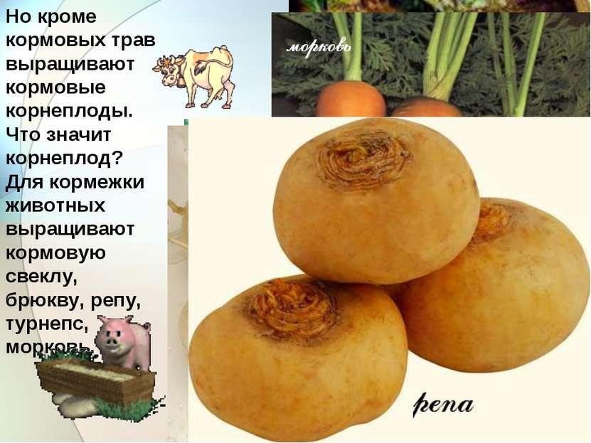 Но кроме кормовых трав выращивают кормовые корнеплоды. Что значит корнеплод? ...