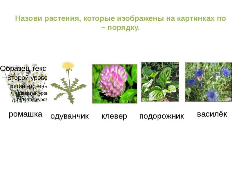 Назови растения, которые изображены на картинках по – порядку. ромашка одуван...