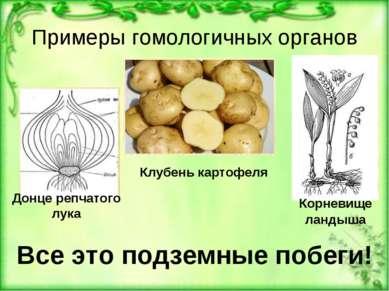 Примеры гомологичных органов Корневище ландыша Клубень картофеля Донце репчат...