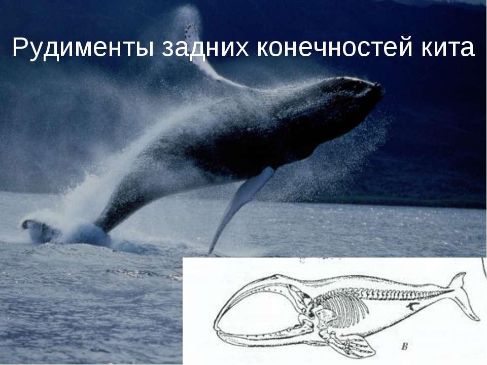 Рудименты задних конечностей кита