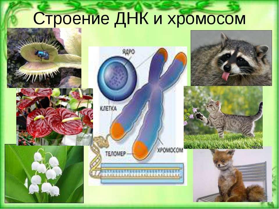 Строение ДНК и хромосом