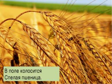 В поле колосится Спелая пшеница.