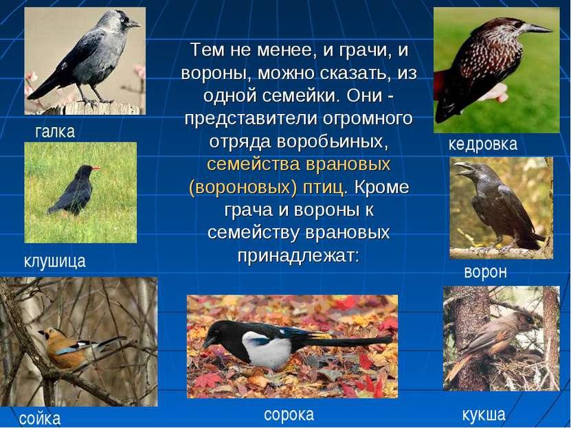 Тем не менее, и грачи, и вороны, можно сказать, из одной семейки. Они - предс...