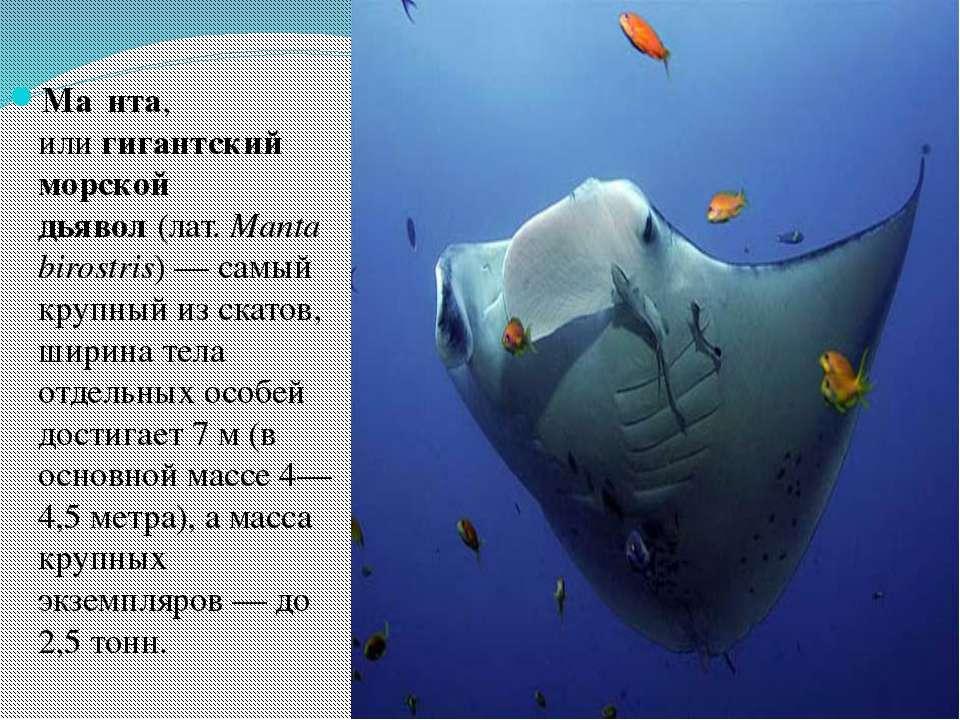 Ма нта, илигигантский морской дьявол(лат.Manta birostris)— самый крупный ...