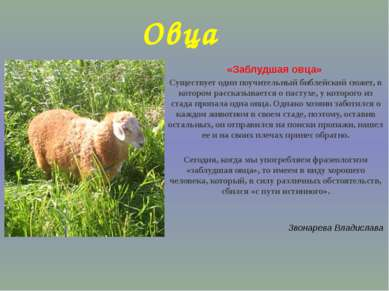 Овца «Заблудшая овца» Существует один поучительный библейский сюжет, в которо...