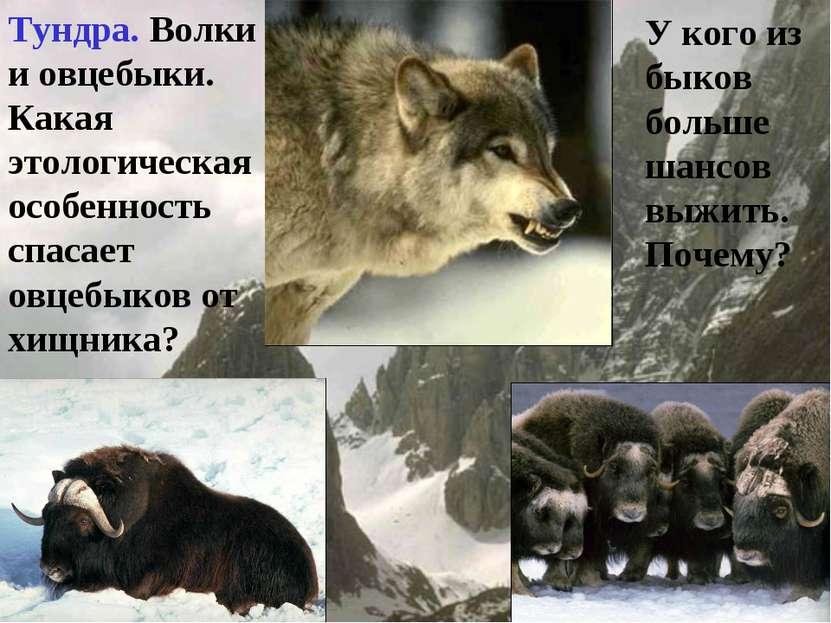Тундра. Волки и овцебыки. Какая этологическая особенность спасает овцебыков о...