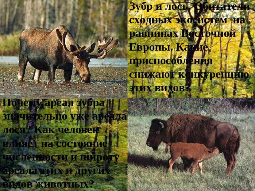 Зубр и лось. Обитатели сходных экосистем на равнинах Восточной Европы. Какие ...
