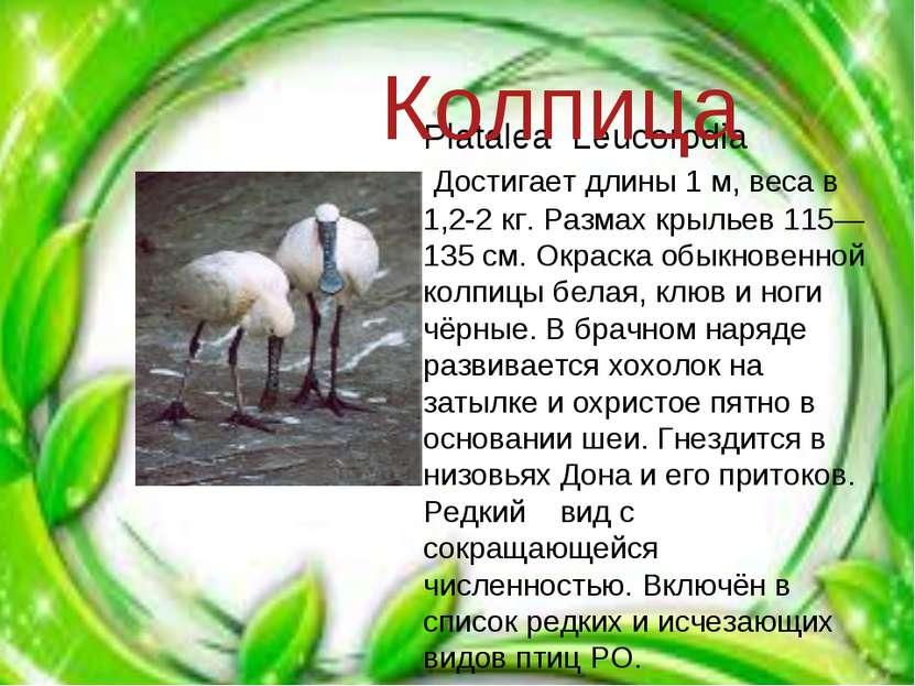 Platalea Leucorodia Достигает длины 1 м, веса в 1,2-2 кг. Размах крыльев 115—...