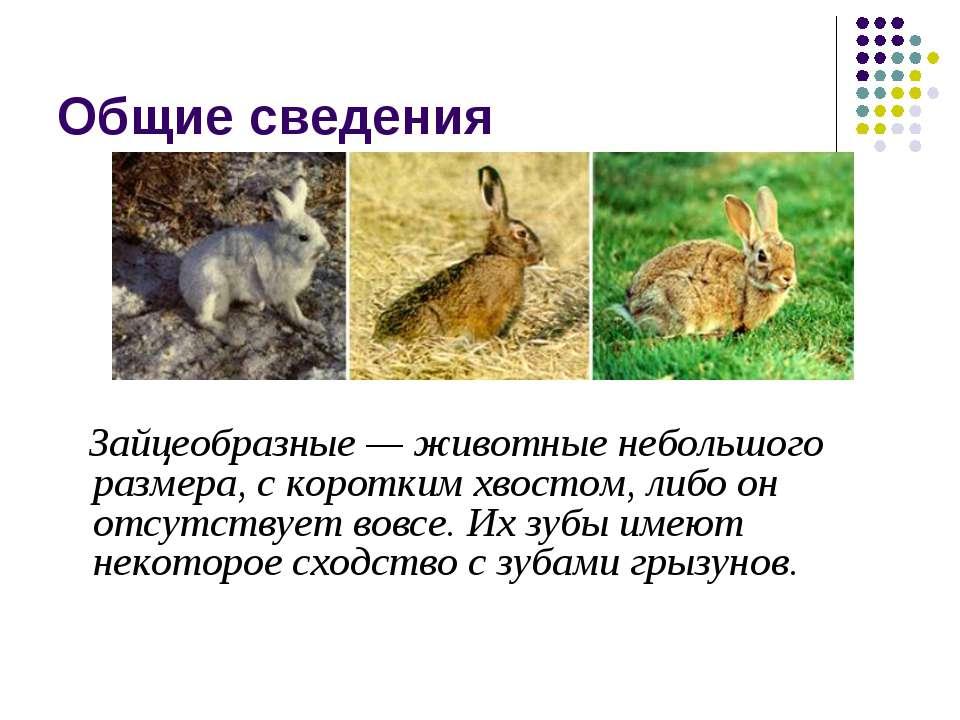 Общие сведения Зайцеобразные — животные небольшого размера, с коротким хвосто...