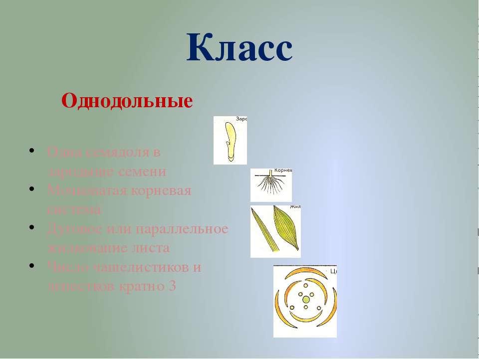 Класс Двудольные Две семядоли в зародыше семени Стержневая корневая система С...