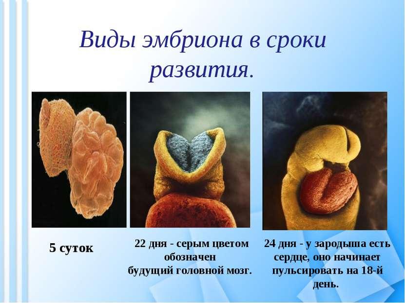 Виды эмбриона в сроки развития. 22 дня - серым цветом обозначен будущий голов...