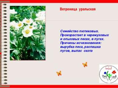 Ветреница уральская Семейство лютиковых. Произрастает в черемуховых и ольховы...
