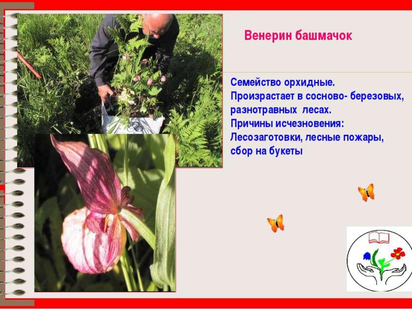 Венерин башмачок Семейство орхидные. Произрастает в сосново- березовых, разно...