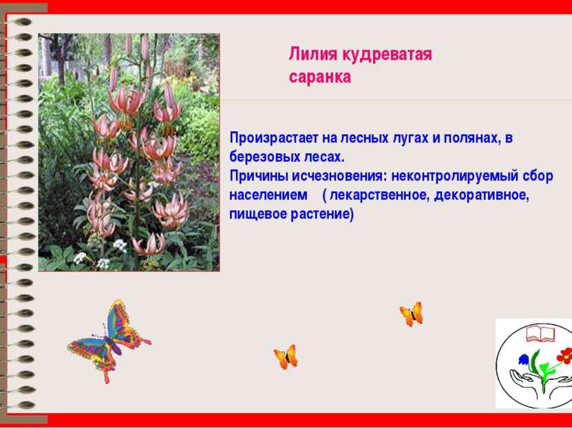 Лилия кудреватая саранка Произрастает на лесных лугах и полянах, в березовых ...