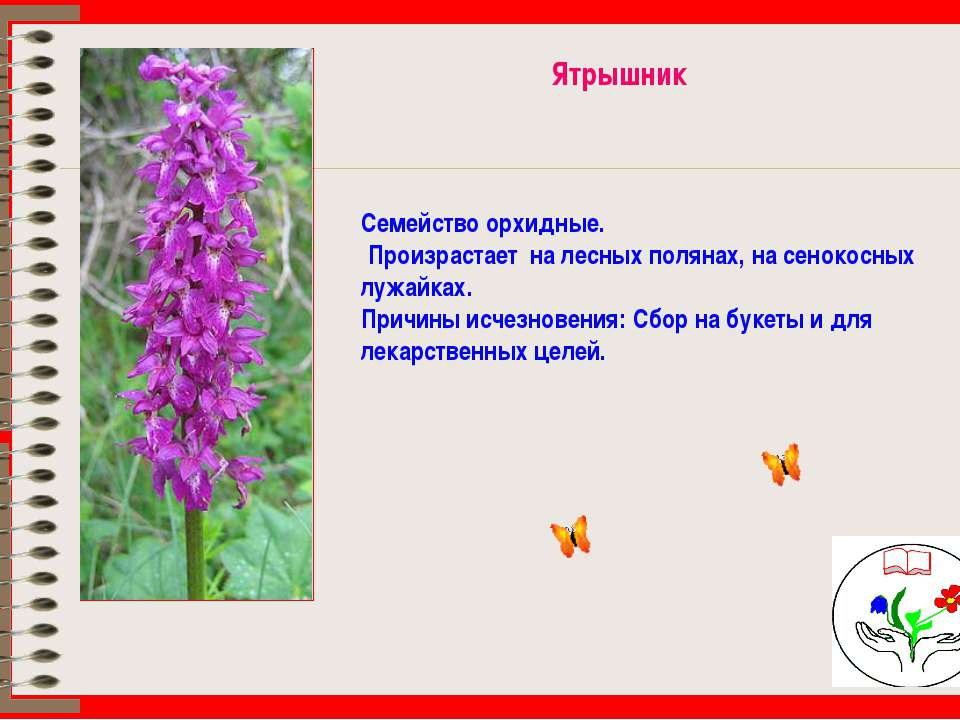 Ятрышник Семейство орхидные. Произрастает на лесных полянах, на сенокосных лу...