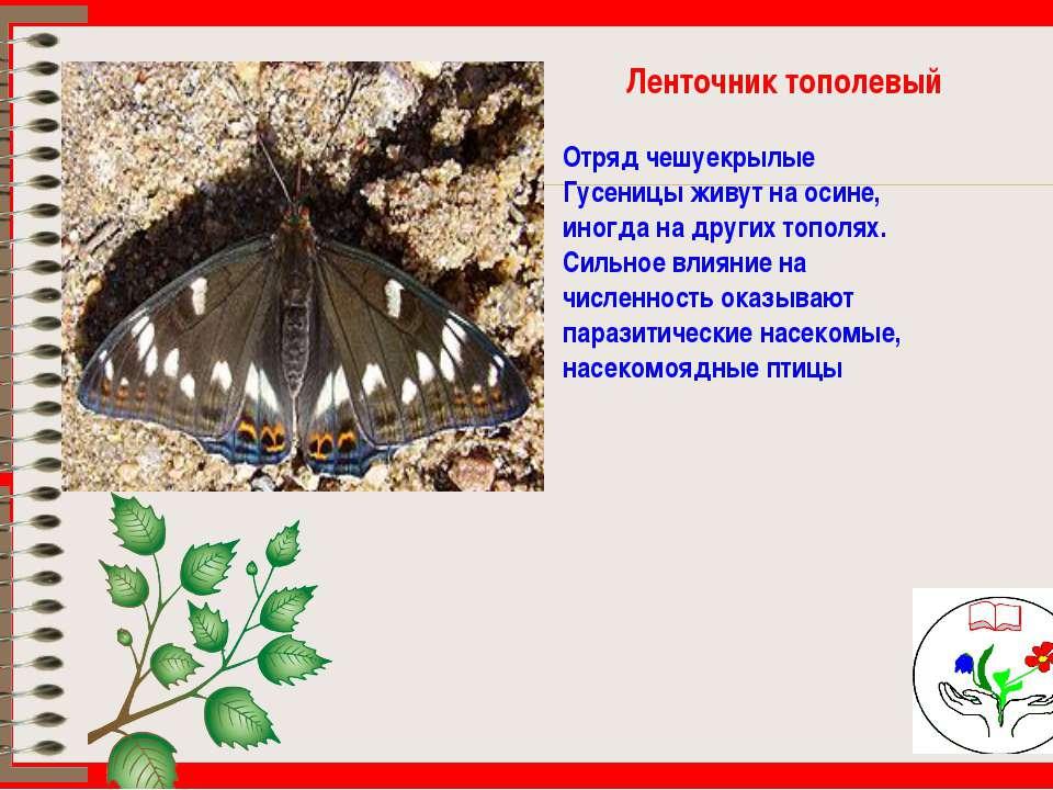 Ленточник тополевый Отряд чешуекрылые Гусеницы живут на осине, иногда на друг...