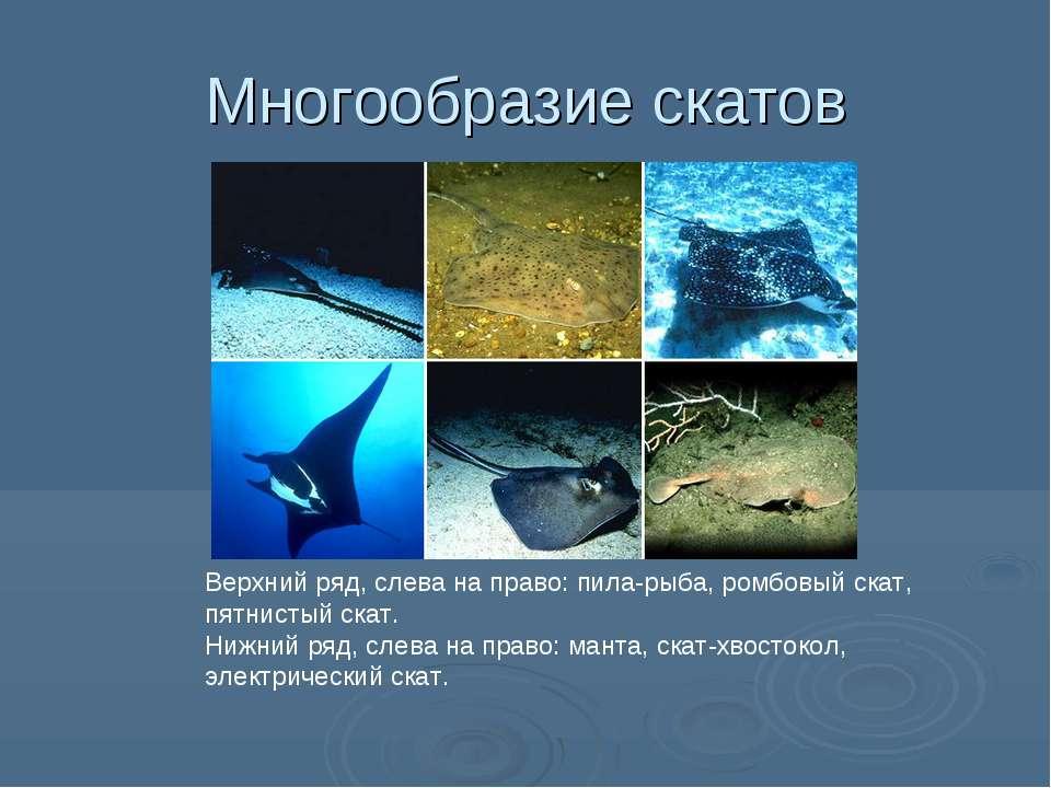 Многообразие скатов Верхний ряд, слева на право: пила-рыба, ромбовый скат, пя...