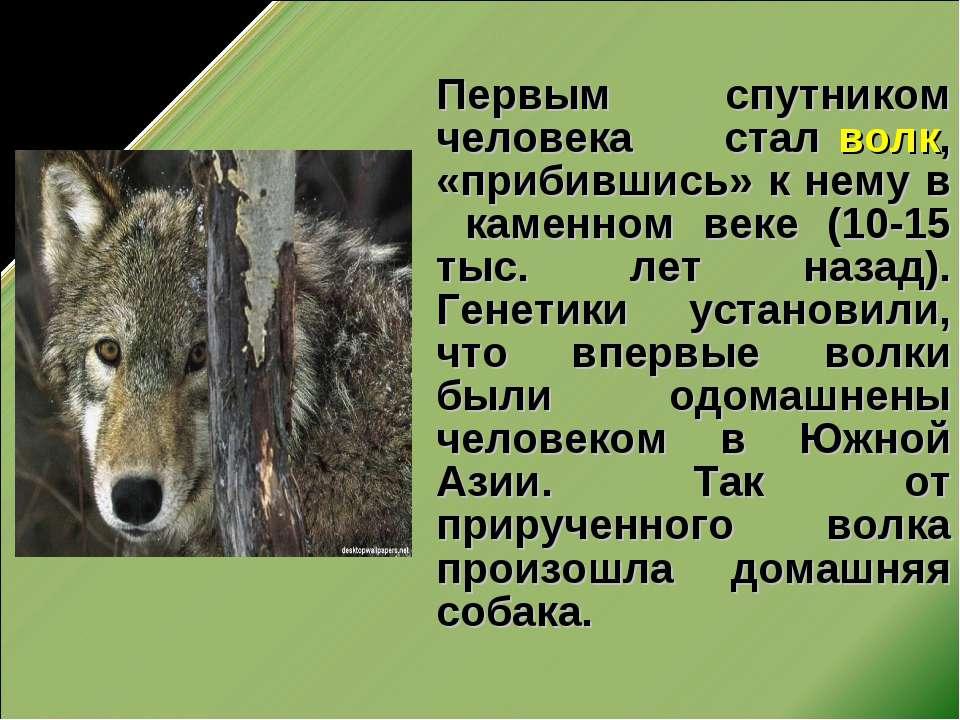 Первым спутником человека стал волк, «прибившись» к нему в каменном веке (10-...