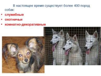 В настоящее время существует более 400 пород собак: служебные охотничьи комна...