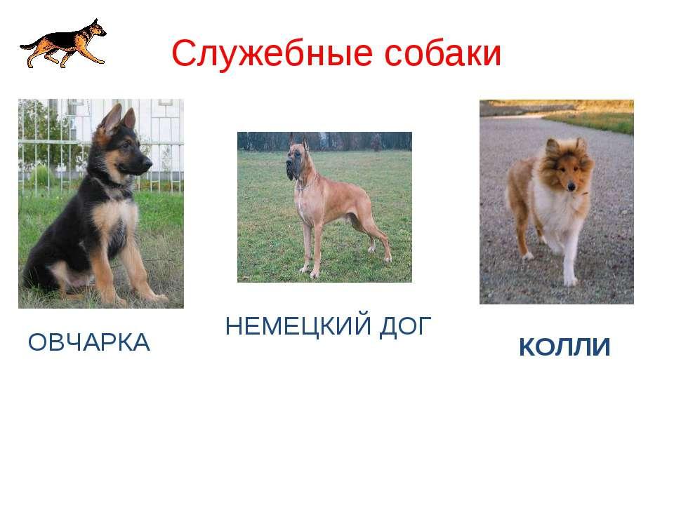 Служебные собаки ОВЧАРКА НЕМЕЦКИЙ ДОГ КОЛЛИ