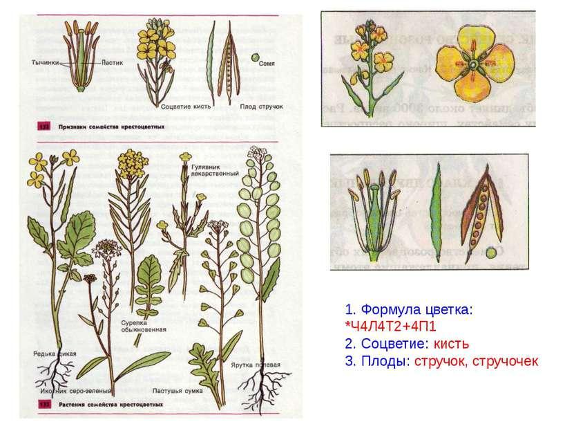 1. Формула цветка: *Ч4Л4Т2+4П1 2. Соцветие: кисть 3. Плоды: стручок, стручочек