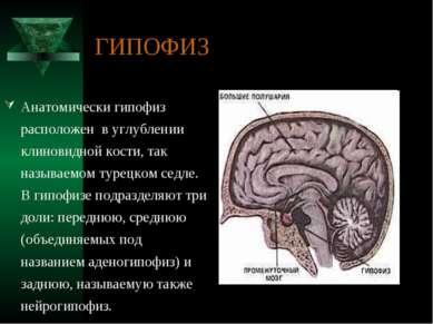 ГИПОФИЗ Анатомически гипофиз расположен в углублении клиновидной кости, так н...