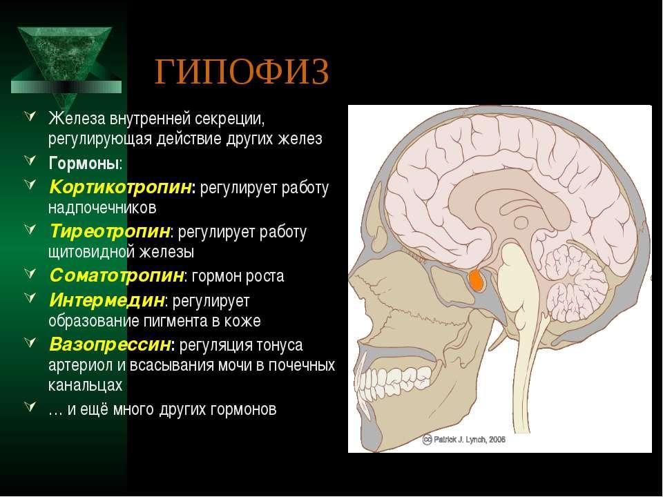 ГИПОФИЗ Железа внутренней секреции, регулирующая действие других желез Гормон...