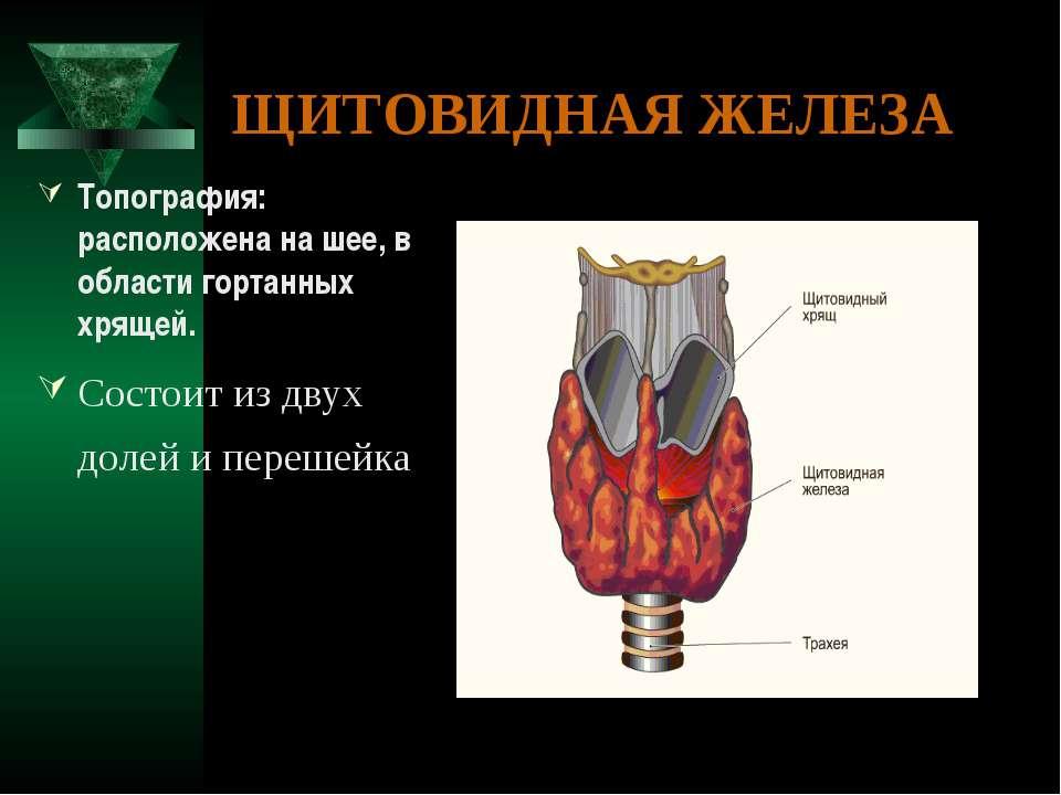 ЩИТОВИДНАЯ ЖЕЛЕЗА Топография: расположена на шее, в области гортанных хрящей....