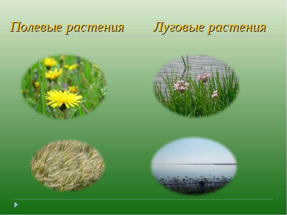 Полевые растения Луговые растения