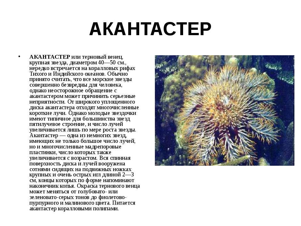 АКАНТАСТЕР АКАНТАСТЕР или терновый венец, крупная звезда, диаметром 40—50 см....