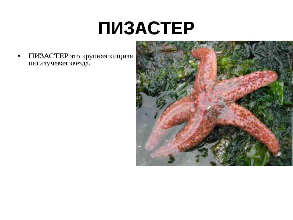 ПИЗАСТЕР ПИЗАСТЕР это крупная хищная пятилучевая звезда.