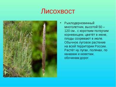 Лисохвост Рыхлодерновинный многолетник, высотой 50 – 120 см., с коротким полз...