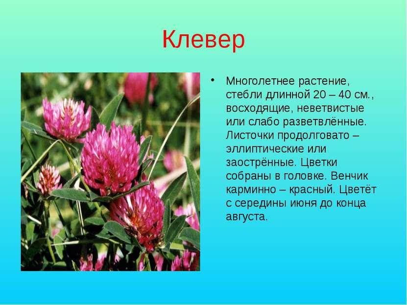Клевер Многолетнее растение, стебли длинной 20 – 40 см., восходящие, неветвис...
